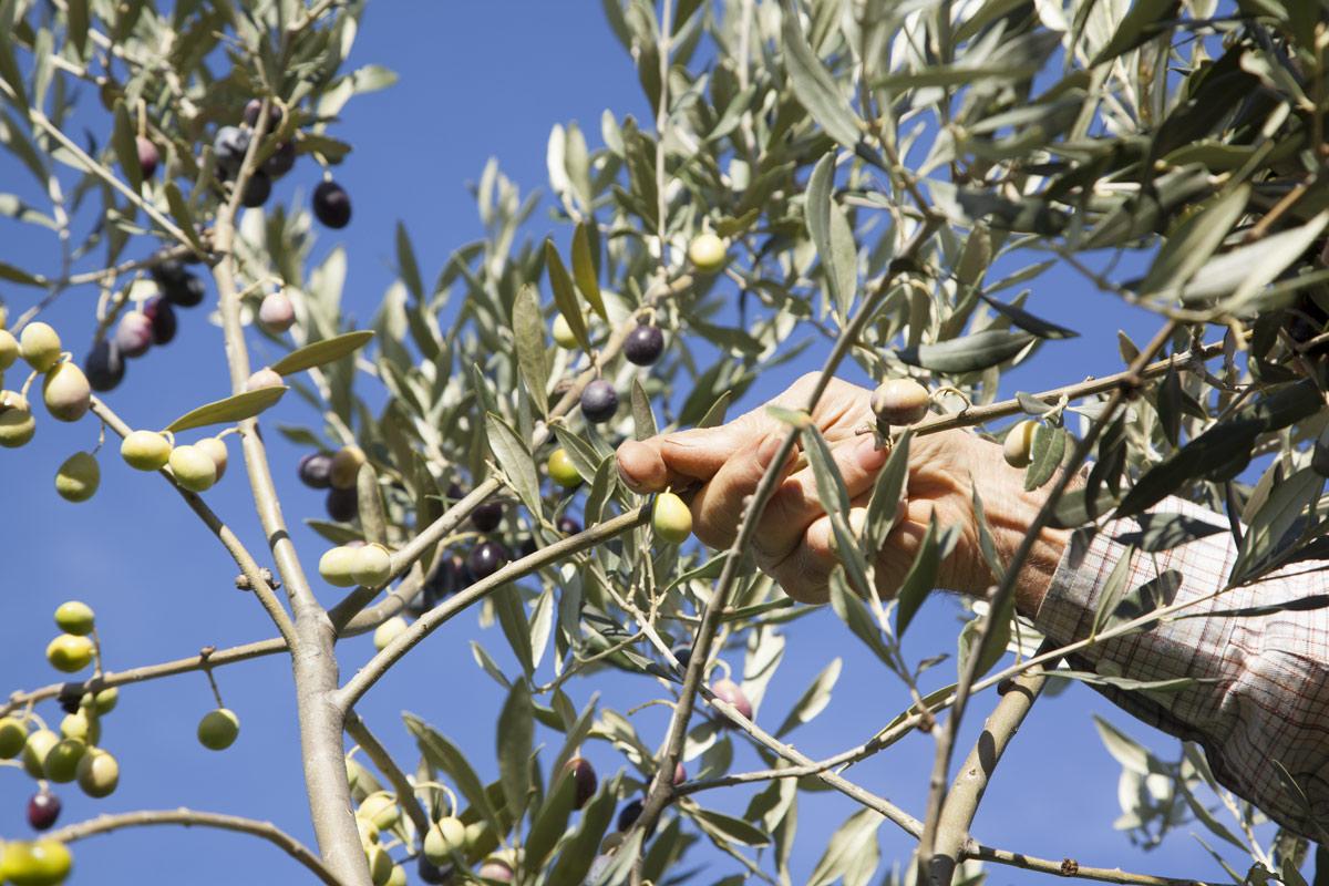 sciroppo-raccolta-olive-2015---olio-peranzana-olio-san-severo