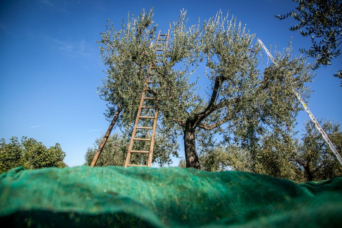 sciroppo-raccolta-olive-olio-puglia