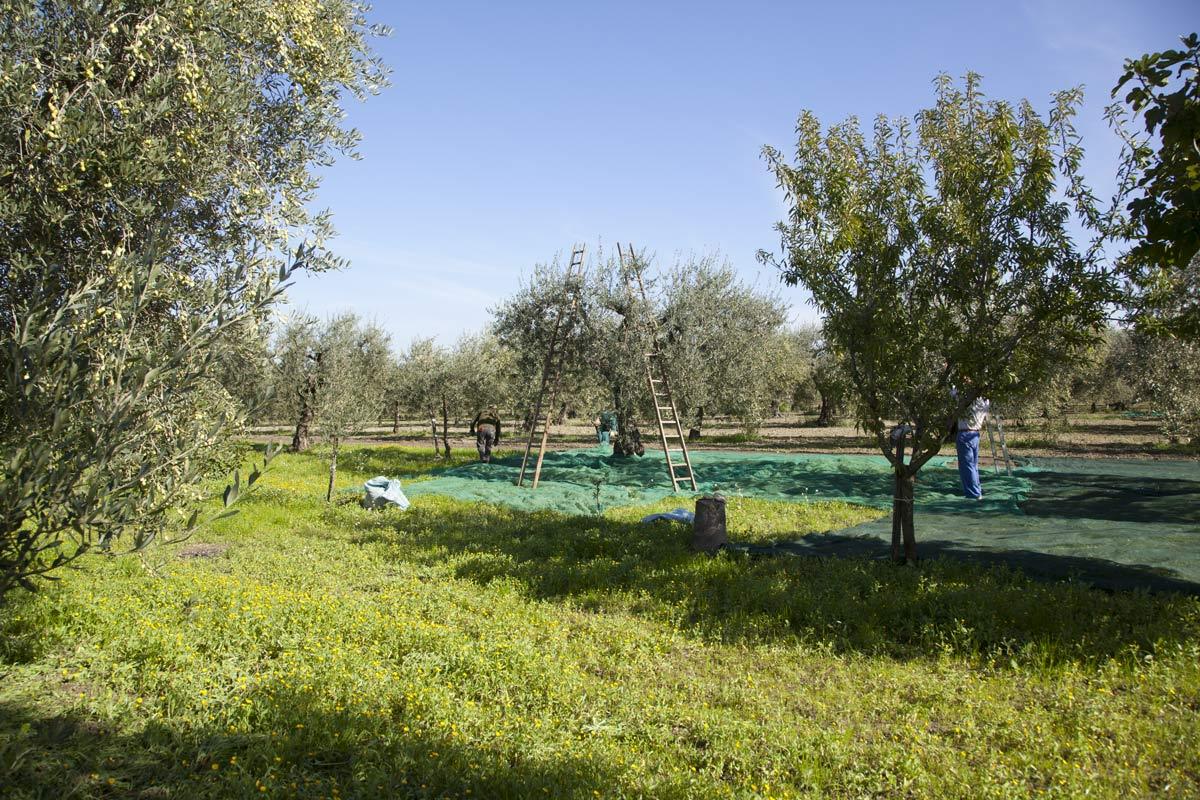 sciroppo-raccolta-olive-2015---olio-peranzana---olio-pugliese