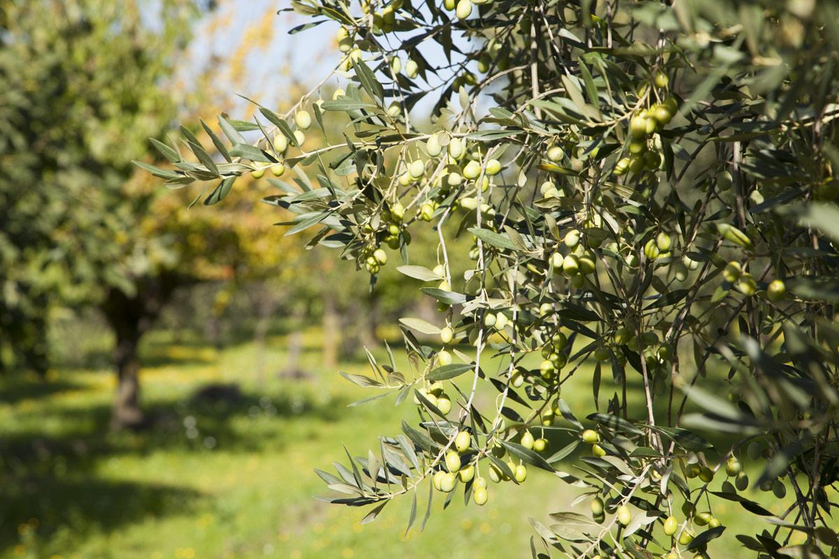 sciroppo-raccolta-olive-2015---olio-peranzana-olio-sansevero